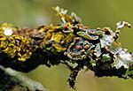 336-2 / Austrella arachnoidea <br /> Erioderma pedicellatum / Trønderlav
