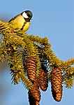 BB 05 0033 / Parus major / Kjøttmeis <br /> Picea abies / Gran