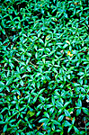BB 05 0244 / Vinca minor / Gravmyrt