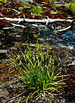 BB 05 0336 / Carex capillaris / Hårstarr