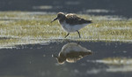 BB 07 0104 / Calidris alpina / Myrsnipe