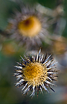 BB 10 0247 / Carlina vulgaris / Stjernetistel