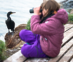 BB 15 0311 / Phalacrocorax aristotelis / Toppskarv