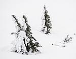 BB_20160123_0020-2 / Juniperus communis / Einer <br /> Picea abies / Gran