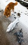 BB_20160213_0107 / Canis lupus familiaris / Hund <br /> Gadus morhua / Torsk