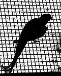 BB_20160225_0210 / Psittacula krameri / Halsbåndparakitt