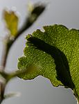 BB_20160304_0014 / Betula pubescens / Bjørk <br /> Betula pubescens tortuosa / Fjellbjørk <br /> Epirrita autumnata / Fjellbjørkemåler