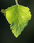 BB_20160304_0267 / Betula pubescens / Bjørk <br /> Betula pubescens tortuosa / Fjellbjørk <br /> Epirrita autumnata / Fjellbjørkemåler