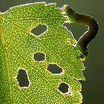 BB_20160304_0324 / Betula pubescens / Bjørk <br /> Betula pubescens tortuosa / Fjellbjørk <br /> Epirrita autumnata / Fjellbjørkemåler