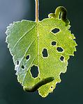 BB_20160304_0358 / Betula pubescens / Bjørk <br /> Betula pubescens tortuosa / Fjellbjørk <br /> Epirrita autumnata / Fjellbjørkemåler