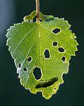 BB_20160304_0362 / Betula pubescens / Bjørk <br /> Betula pubescens tortuosa / Fjellbjørk <br /> Epirrita autumnata / Fjellbjørkemåler