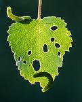 BB_20160304_0369 / Betula pubescens / Bjørk <br /> Betula pubescens tortuosa / Fjellbjørk <br /> Epirrita autumnata / Fjellbjørkemåler
