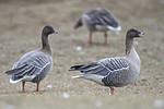 BB_20160402_0165 / Anser brachyrhynchus / Kortnebbgås
