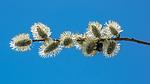 BB_20160419_0289 / Bombus lucorum / Lys jordhumle <br /> Salix caprea / Selje
