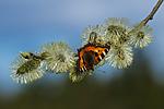 BB_20160419_0387 / Aglais urticae / Neslesommerfugl <br /> Salix caprea / Selje
