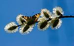 BB_20160419_0420 / Aglais urticae / Neslesommerfugl <br /> Salix caprea / Selje