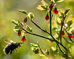 BB_20160506_0248 / Bombus pratorum / Markhumle <br /> Vaccinium myrtillus / Blåbær