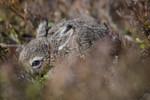 BB_20160517_0206 / Calluna vulgaris / Røsslyng <br /> Lepus timidus / Hare