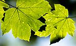 BB_20160525_0130 / Acer pseudoplatanus / Platanlønn