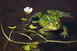 BB_20160604_1701 / Pelophylax esculentus / Hybridfrosk <br /> Ranunculus peltatus / Storvassoleie