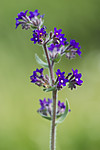 BB_20160605_0132 / Anchusa officinalis / Oksetunge