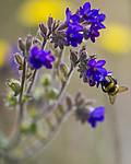 BB_20160605_0210 / Anchusa officinalis / Oksetunge <br /> Humulus lupulus / Humle