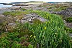 BB_20160612_0061 / Iris pseudacorus / Sverdlilje <br /> Juniperus communis / Einer