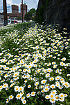 BB_20160616_0011 / Leucanthemum vulgare / Prestekrage <br /> Trifolium pratense / Rødkløver