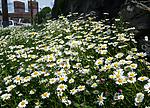 BB_20160616_0012 / Leucanthemum vulgare / Prestekrage <br /> Trifolium pratense / Rødkløver