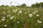 BB_20160617_0009 / Filipendula vulgaris / Knollmjødurt <br /> Lotus corniculatus / Tiriltunge <br /> Trifolium medium / Skogkløver