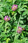 BB_20160622_0024 / Bombus pascuorum / åkerhumle <br /> Trifolium medium / Skogkløver