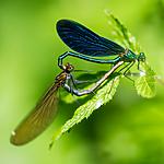BB_20160628_0243 / Calopteryx virgo / Blåvingevannymfe <br /> Filipendula ulmaria / Mjødurt
