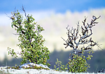 BB_20160702_0037 / Anthus pratensis / Heipiplerke <br /> Betula pubescens / Bjørk <br /> Betula pubescens tortuosa / Fjellbjørk