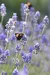 BB_20160709_0062 / Aglais urticae / Neslesommerfugl <br /> Lavandula angustifolia / Lavendel
