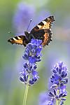BB_20160709_0069 / Aglais urticae / Neslesommerfugl <br /> Lavandula angustifolia / Lavendel