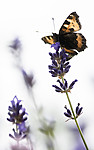 BB_20160710_0129 / Aglais urticae / Neslesommerfugl <br /> Lavandula angustifolia / Lavendel