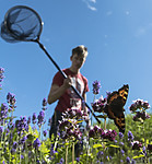 BB_20160710_0344 / Aglais urticae / Neslesommerfugl <br /> Lavandula angustifolia / Lavendel <br /> Origanum vulgare / Bergmynte