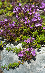 BB_20160712_0059 / Thymus serpyllum serpyllum / Smaltimian
