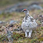 BB_20160715_0263 / Lagopus muta / Fjellrype <br /> Lagopus muta hyperborea / Svalbardrype