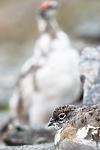BB_20160715_0471 / Lagopus muta / Fjellrype <br /> Lagopus muta hyperborea / Svalbardrype