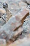 BB_20160715_0516 / Lagopus muta / Fjellrype <br /> Lagopus muta hyperborea / Svalbardrype