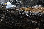 BB_20160717_0061 / Larus hyperboreus / Polarmåke