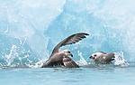 BB_20160718_0129 / Fulmarus glacialis / Havhest