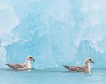 BB_20160718_0132 / Fulmarus glacialis / Havhest