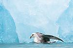 BB_20160718_0194 / Fulmarus glacialis / Havhest