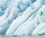 BB_20160718_0425 / Fulmarus glacialis / Havhest <br /> Larus hyperboreus / Polarmåke <br /> Rissa tridactyla / Krykkje