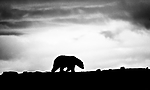 BB_20160719_0134 / Ursus maritimus / Isbjørn