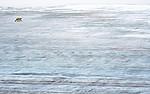 BB_20160720_0071 / Ursus maritimus / Isbjørn