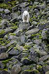 BB_20160721_0374 / Ursus maritimus / Isbjørn