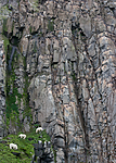 BB_20160721_0511 / Rissa tridactyla / Krykkje <br /> Uria lomvia / Polarlomvi <br /> Ursus maritimus / Isbjørn